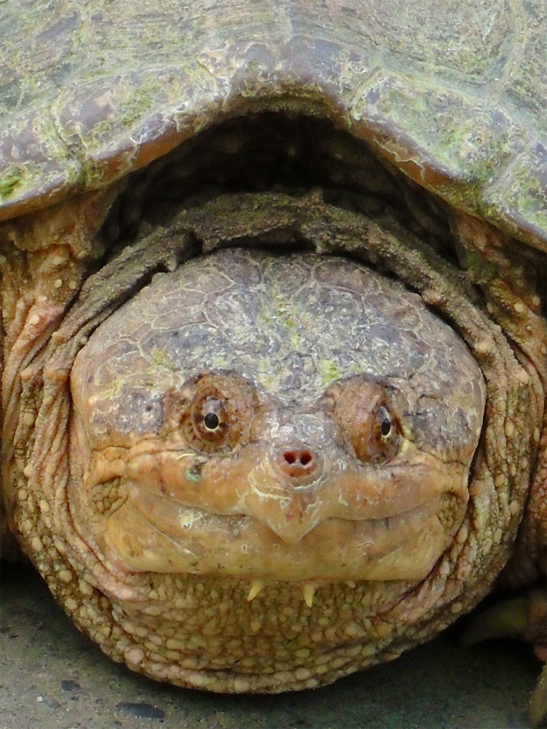 snapping.turtle
