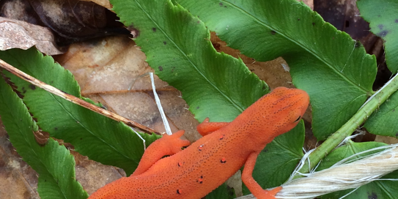 red.newt