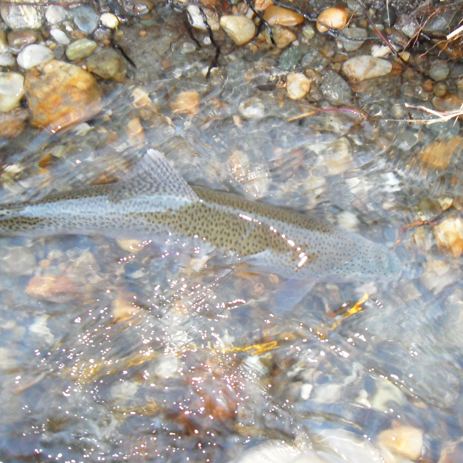 rainbow.trout