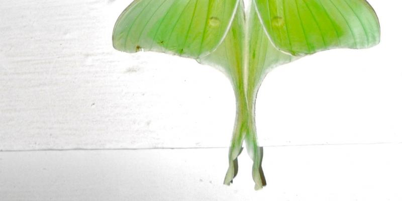 luner.moth